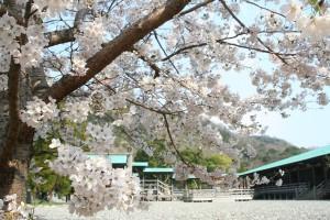 桜(2012)