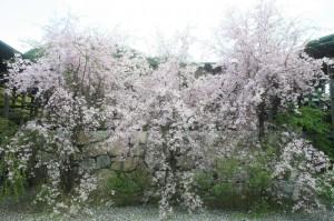 2017年 枝垂れ桜